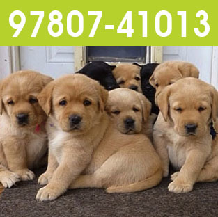 Labrador Dog Labrador Dog Manufacturers Suppliers Dealers
