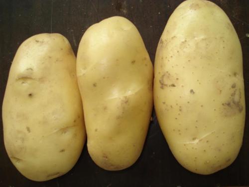 New Harvest Fresh Potato