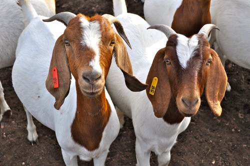 Affordable High Breed Goats