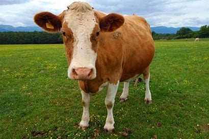 Cattle High Breed Desi Cows