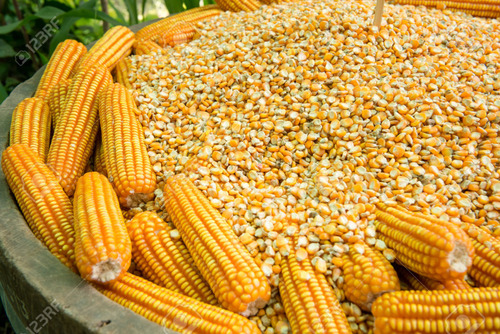 Full Nutrients Yellow Maize