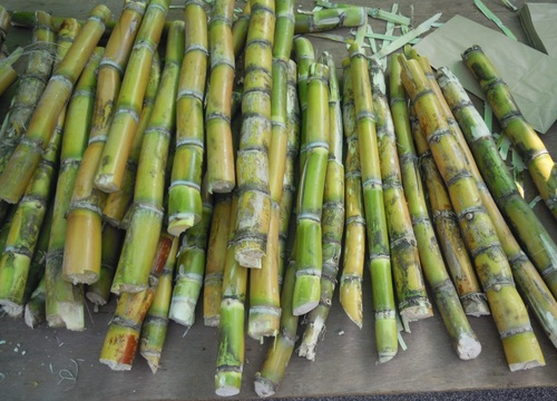 Tasty Juicy Sugarcane Fruit