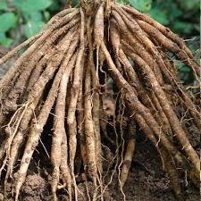 Fresh And Dry Shatavari Root