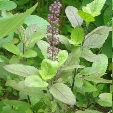 Green Tulsi Leaves