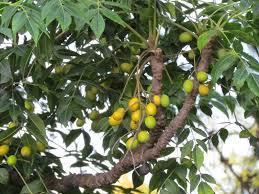 Neem Seeds And Leaves