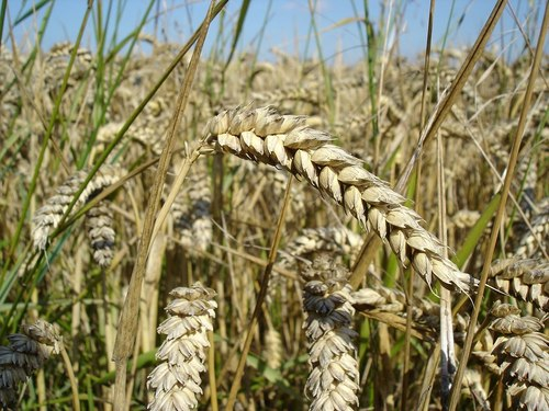 Russia Origin Wheat
