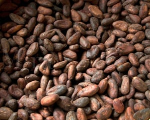 High Quality Extract Cocoa Bean