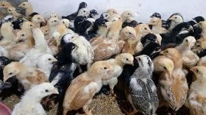 Aseel or Asil Chick in Rajendranagar, Andhra Pradesh - Naturo Farms