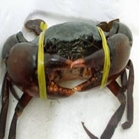 Alive Mud Crabs
