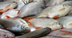 Frozen Seafood Bonito Fish