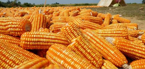 Cattle Feed Maize Certifications: All Certifications Available