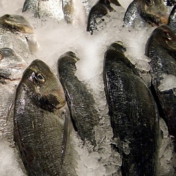 Whole Frozen Mackerel Fish