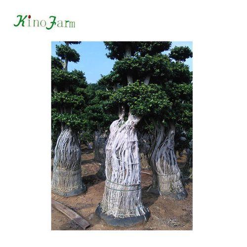 Natural Big Ficus Plant