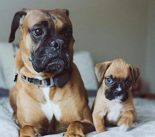Boxer Puppy And Dogs At Best Price In Lucknow Uttar Pradesh Saurabh Y Agarwal
