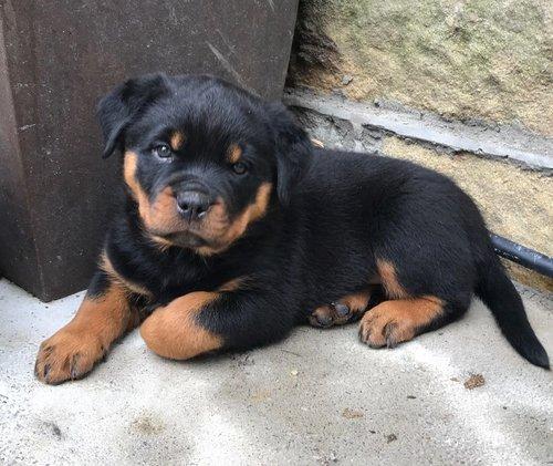 Rottweiler Puppies At Best Price In Lucknow Uttar Pradesh Saurabh Y Agarwal
