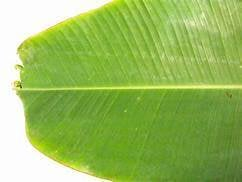 Banana Leafs for Food Serving