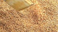 Indian Organic Fresh Wheat