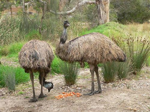 Rich Flavor EMU Birds