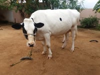 Indian Hf Dairy Cow