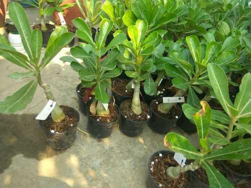 Adenium Plant Suppliers, Adenium Plant Exporters, Manufacturers