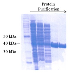 Antibodies For Diagnostic Reagents