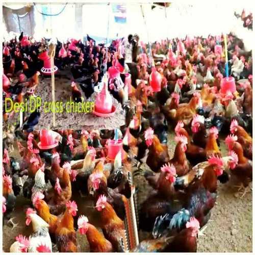 Desi DP Cross Chicken