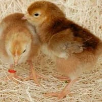 Best Price Poultry Farm Chick