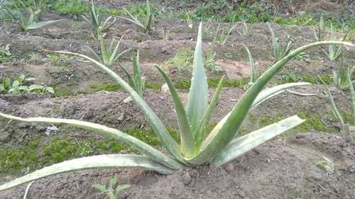 Herbal Aloe Vera Leaves