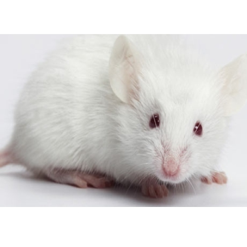 White Mouse For House