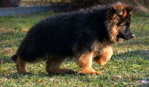 Cute German Shepherd Puppy at Price 25000 INR/Piece in