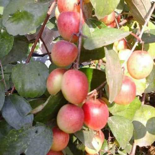 Fruit Plants In Kolkata, Fruit Plants Dealers & Traders In Kolkata
