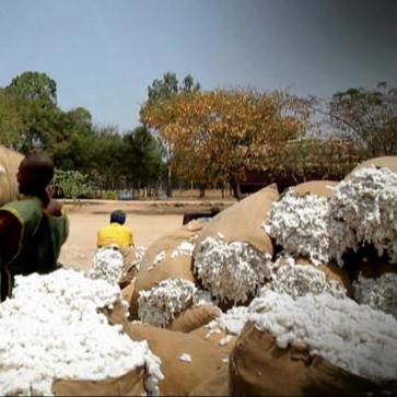 Non-Siliconized And Siliconized Raw Cotton