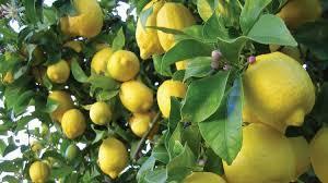 Fresh High Quality Green, Yellow Lemon