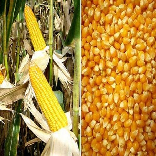 High Quality Yellow Corn