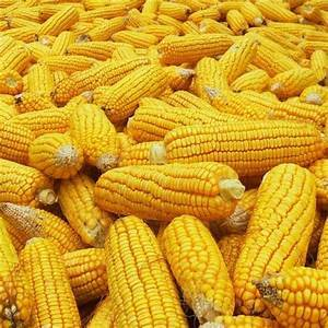 Healthy and Fresh Yellow Maize