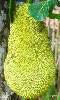 Farm Fresh Green Jackfruit