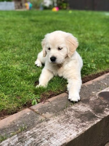 Playful Golden Retriever Puppies At Price 350 Usd Unit In