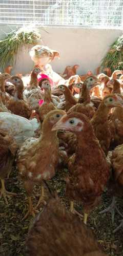 Layer Chicks (Bv 380) Certifications: Government Approved Farm