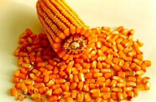 Rich In Vitamin Fresh Yellow Corn