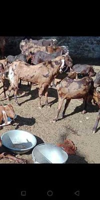 All Breed Goat For Mutton Purpose