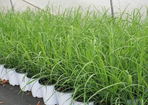 Fresh Natural Lemon Grass