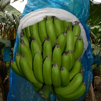 Farm Fresh Green Cavendish Banana