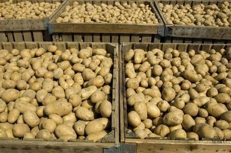 Fresh And Pure Potatoes