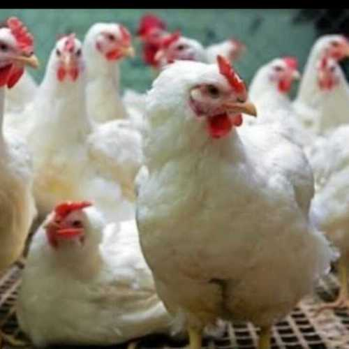 Healthy Live Poultry Chicks