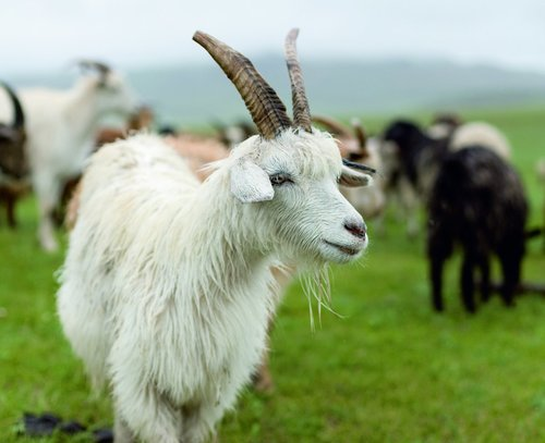 Live Goat Certifications: Iso