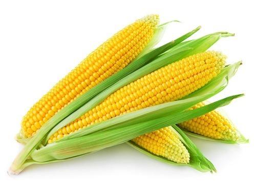 Indian Origin Fresh Yellow Maize