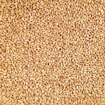 Best Quality Wheat Grain