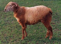 Healthy Nellore Brown Sheep