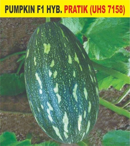 F1 Hybrid Pumpkin - Pratik (Uhs 7158)