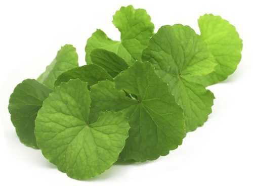 Green Color Brahmi Plant at Price Range 150-250 INR/Kilograms in ...